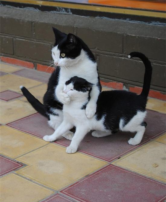 tan chay voi nhung ban sao meo con xoan xit ben bo me khong roi 10 Tan chảy với những bản sao mèo con xoắn xít bên bố mẹ không rời