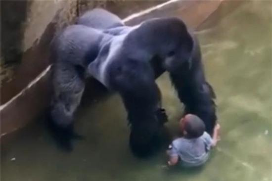 bắn hạ khỉ đột, Donald Trump, Harambe, khỉ đột Harambe