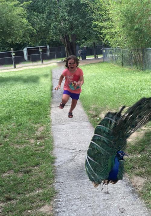 Có vẻ như cô bé đang lấy lại được bình tĩnh, quay lại tấn công, trả thù chú chim công.