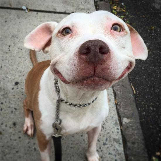 smiling-dog-stray-pit-bull-adopted-brinks-14