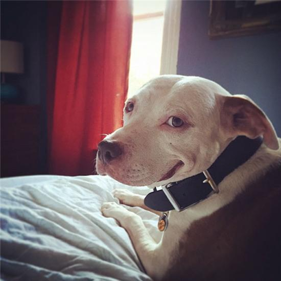 smiling-dog-stray-pit-bull-adopted-brinks-17