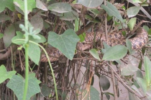 'Vợ chồng thần rắn' xuất hiện trên cây ở Nam Định