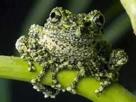 Giật mình trước loài ếch quái dị nhất hành tinh