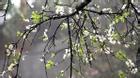 Hoa mận nở rộ ở Mộc Châu