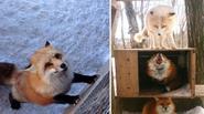 Ngôi làng của những chú cáo dễ thương ở Nhật Bản