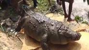 Cá sấu trăm tuổi béo phì chết vì... ăn quá nhiều