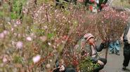 Những hình ảnh xót lòng về một mùa Tết buồn của hoa đào Nhật Tân