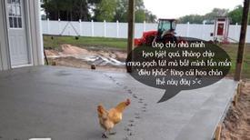 Ảnh hài: Bóc lột sức lao động của gà