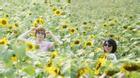 Giới trẻ mê mẩn chụp ảnh tại cánh đồng hoa hướng dương tuyệt đẹp