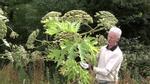 Loài cây kỳ lạ có thể gây mù mắt vĩnh viễn chỉ bằng một lần chạm
