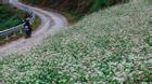 Ngất ngây với vẻ đẹp của hoa tam giác mạch ở Hà Giang