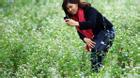 Ngắm hoa tam giác mạch miễn phí giữa lòng Hà Nội