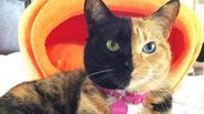 Cô mèo có khuôn mặt nửa đen, nửa cam bỗng chốc trở thành ngôi sao