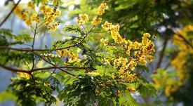 Mùa hoa điệp vàng thắp sáng những hàng cây Sài Gòn