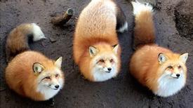 Đảo mèo, làng cáo, suối khỉ độc đáo ở Nhật