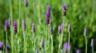 Ghé thăm vườn oải hương đẹp mê mải ở Đà Lạt