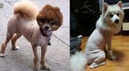 Thích thú với chùm ảnh thú cưng bị cắt tỉa lông 'bá đạo nhất quả đất'