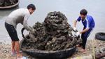 Thừa Thiên-Huế: Hàu nuôi trên lốp cao su không gây ung thư