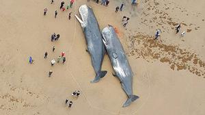 Sự thật bàng hoàng bên trong bụng của hàng loạt cá voi đột tử trên biển