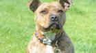 Nỗi buồn của chú chó cô đơn nhất nước Anh, bị 18.720 người chủ từ chối