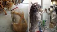 """Hài hước những hình ảnh khác lạ của thú cưng khi được """"lột xác"""""""
