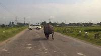 """Ấn Độ: Tê giác """"càn quét"""" quốc lộ, xe hơi chạy tán loạn"""