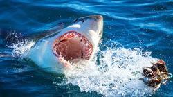 Rợn người với tour du lịch 'khiêu khích' cá mập trắng