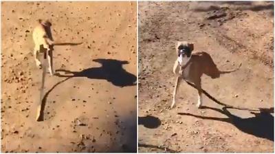 Cảm phục nghị lực sống của chú chó chỉ có...2 chân
