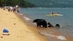Gấu mẹ dẫn con ra tắm hồ cùng du khách