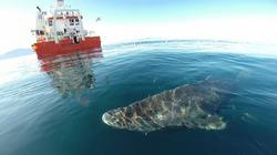 Loài cá mập thọ 4 thế kỷ, chỉ giao phối sau 150 tuổi