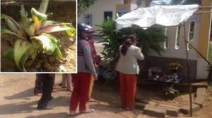Huế: Người dân đổ xô đến cúng bái gốc chuối kỳ lạ