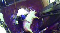 Màn tra tấn động vật gây sốc: Lợn bị luộc sống, gà bị đông lạnh đến chết trên xe tải