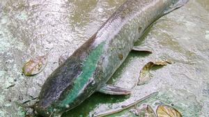 Nông dân câu được cá trê nặng 4 kg, dài gần 1m