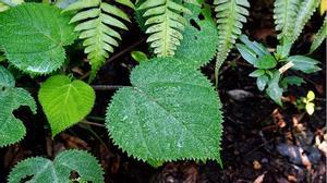 Kinh dị loài cây chỉ cần chạm nhẹ là đau đến muốn chết để được giải thoát