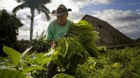 Quy trình sản xuất xì gà cầu kỳ ở Cuba