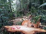 Đường dây phá rừng pơ mu ở biên giới Quảng Nam