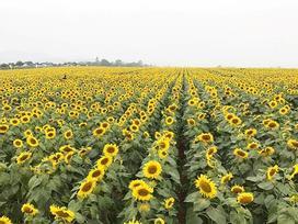 Cánh đồng hoa hướng dương lớn nhất Việt Nam rực rỡ đầu đông