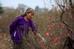 Bà Xuân (Tây Hồ, Hà Nội) đang chăm sóc một gốc đào có tuổi thọ trên 30 năm. Bà Xuân cho biết, một gốc đào cổ thụ cho thuê dịp Tết có giá trung bình từ 20 triệu/gốc cho 1 tháng chơi Tết.