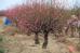 Dù còn hơn nửa tháng nữa mới tới Tết âm lịch nhưng nhiều gốc đào đã bung hoa đỏ rực cả một khu vực.