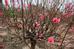 Tuy nhiên thời tiết năm nay thất thường, nóng nhiều nên một số cây đào dù mất công chăm sóc cả năm nay đã nở hết hoa khiến người nông dân lo lắng, không có khách thuê trong dịp Tết.