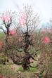 Cây đào bích, cao khoảng hơn 2m, với tuổi đời hơn 20 năm được chủ vườn ra giá thuê dịp Tết với giá 15 triệu đồng.