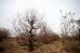 Những cây đào cổ thụ này thuộc loại đào lùn hoặc đào cánh thông với tuổi đời xuyên 2 thế kỷ, một số cây có nguồn gốc từ đào rừng hoặc đã được trồng lâu năm trên mảnh đất đào Nhật Tân truyền thống.