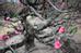 Một cây đào cổ thụ quý hiếm với bộ gốc tự nhiên chĩa ra nhiều hướng.
