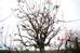 Thân cây càng sần sùi, mốc trắng càng được nhiều người yêu thích và giá cho thuê cũng cao hơn.