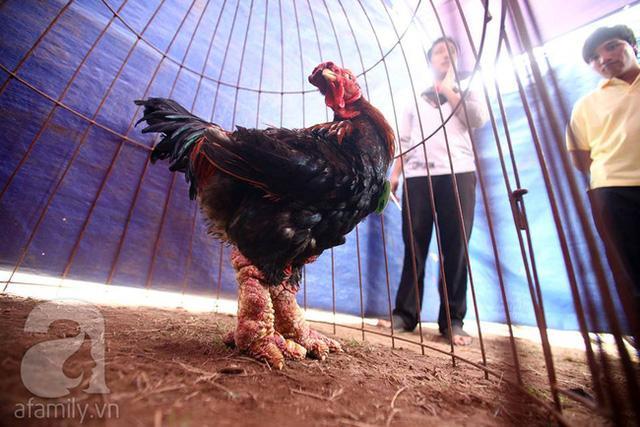 Con gà này có giá 8 triệu đồng.