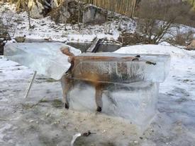Lạnh kỷ lục ở châu Âu, cáo chết trong khối băng