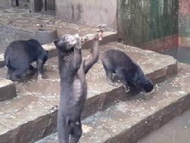 Nghẹn lòng nhìn những chú gấu chó chết đói, cầu xin thức ăn từ du khách đầy thương tâm
