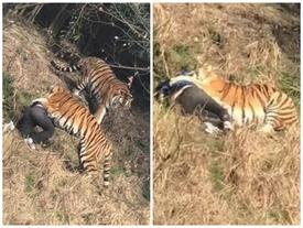 Vụ hổ cắn chết người trong vườn thú: Du khách trốn vé, tự trèo hàng rào vào khu nuôi thú dữ