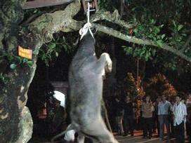 Hình ảnh con trâu bị treo cổ lên cây cho đến chết trong lễ hội ở Yên Bái gây tranh cãi