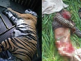Thảm cảnh 6 dân làng bị hổ dữ vồ tới chết sau khi trốn thoát khỏi khu bảo tồn thiên nhiên